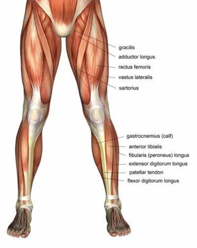 thigh anatomy